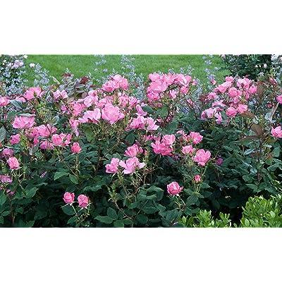 1 Gallon Plant Medium Pink Knock Out Rose Shrub Plant Roses Outdoor Gardening tktreas : Garden & Outdoor