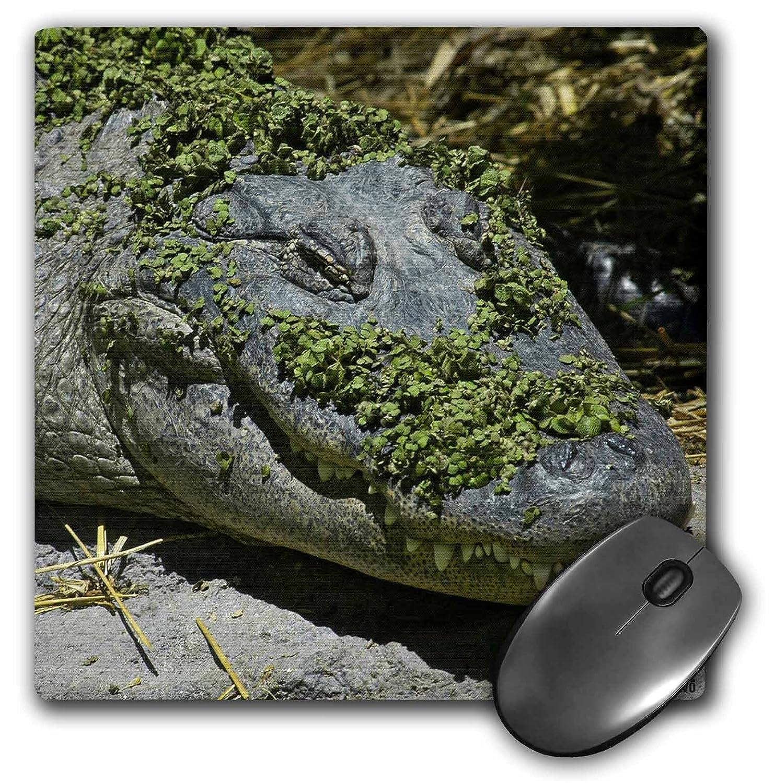 3dRose LLC 8 x 8 x 0.25 Inches Alligator Mouse Pad (MP 9941 _ 1 ...
