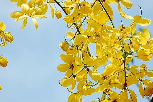 Albero Fiori Gialli.Laburnum Indiano Cassia Fistula 10 Semi Bellissimo Albero