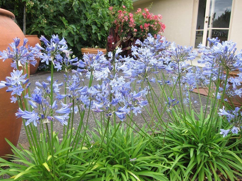 Amazon agapanthus africanus lily of the nile 3 live plants amazon agapanthus africanus lily of the nile 3 live plants 2 pot size blooming groundcover garden outdoor izmirmasajfo