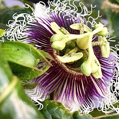 "1 Live Plant 4"" Pot Purple Possom Passiflora Edulis Fruit Plant Gardening tkdael : Garden & Outdoor"