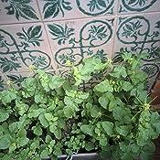 Semillas Aromáticas - Menta Spicata (Hierbabuena) - Batlle: Amazon ...