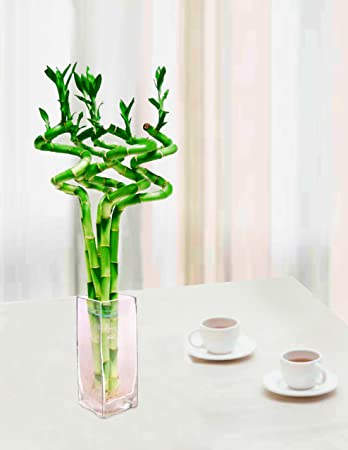 Amazon Lucky Bamboo 5 Stem 15 Curly W 10h Clear Glass