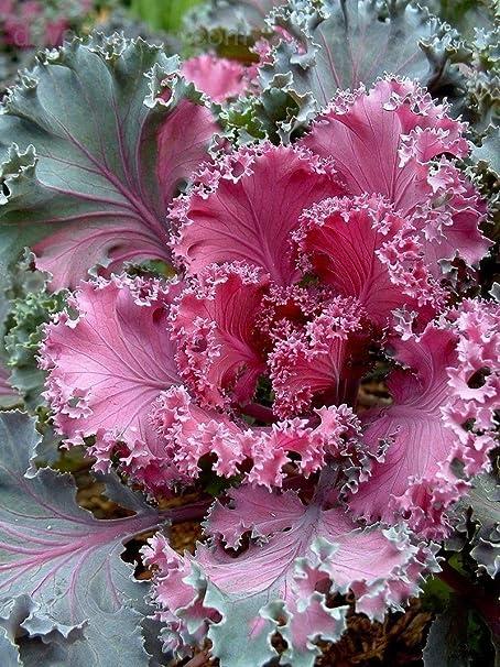 Amazon Com Flowering Kale Flowering Cabbage Nagoya Red 40