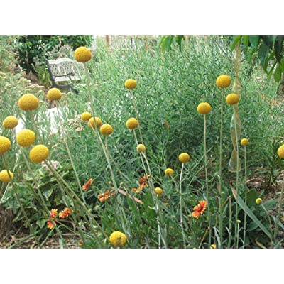 P012X03. 3 Plants of Craspedia Billy Button : Garden & Outdoor