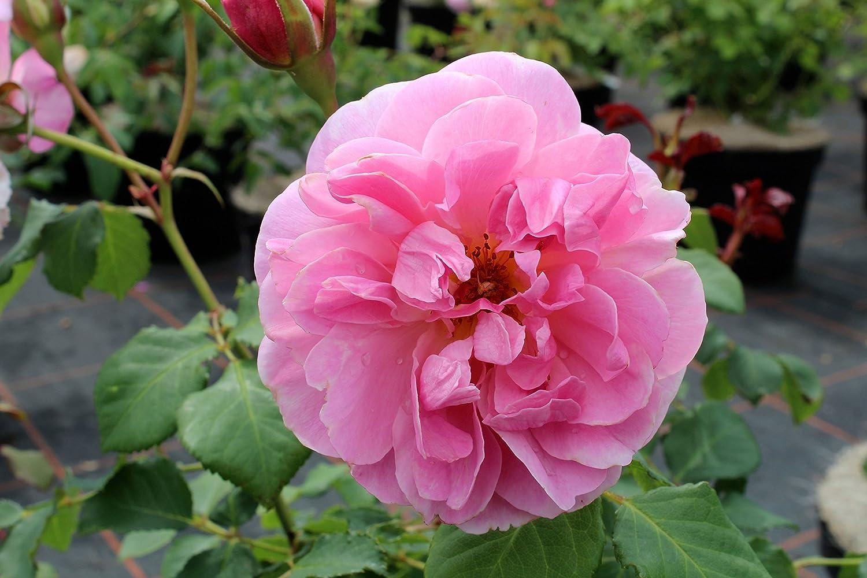 Englische Rose Maid Marion ® Austobias ® im großen 7,5 ltr Topf