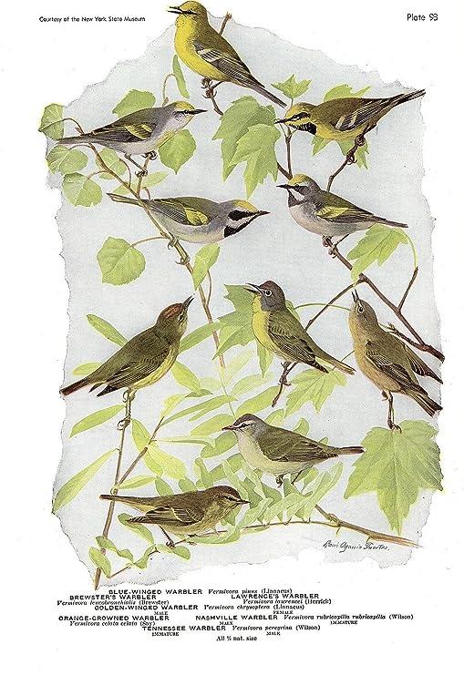 """NASHVILLE WARBLER/"""" Plate Lithograph 1936 Vintage FUERTES BIRDS #93 /""""TENNESSEE"""