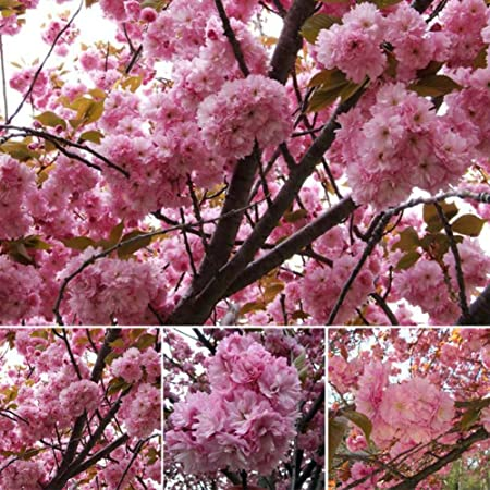Amazon Com Asosmos 10pcs Japanese Cherry Tree Pink Cloud