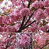 Tulas 10Pcs Seeds Japanese Cherry Sakura Prunus Serrulata Bonsai Ornamental Home Garden Decor