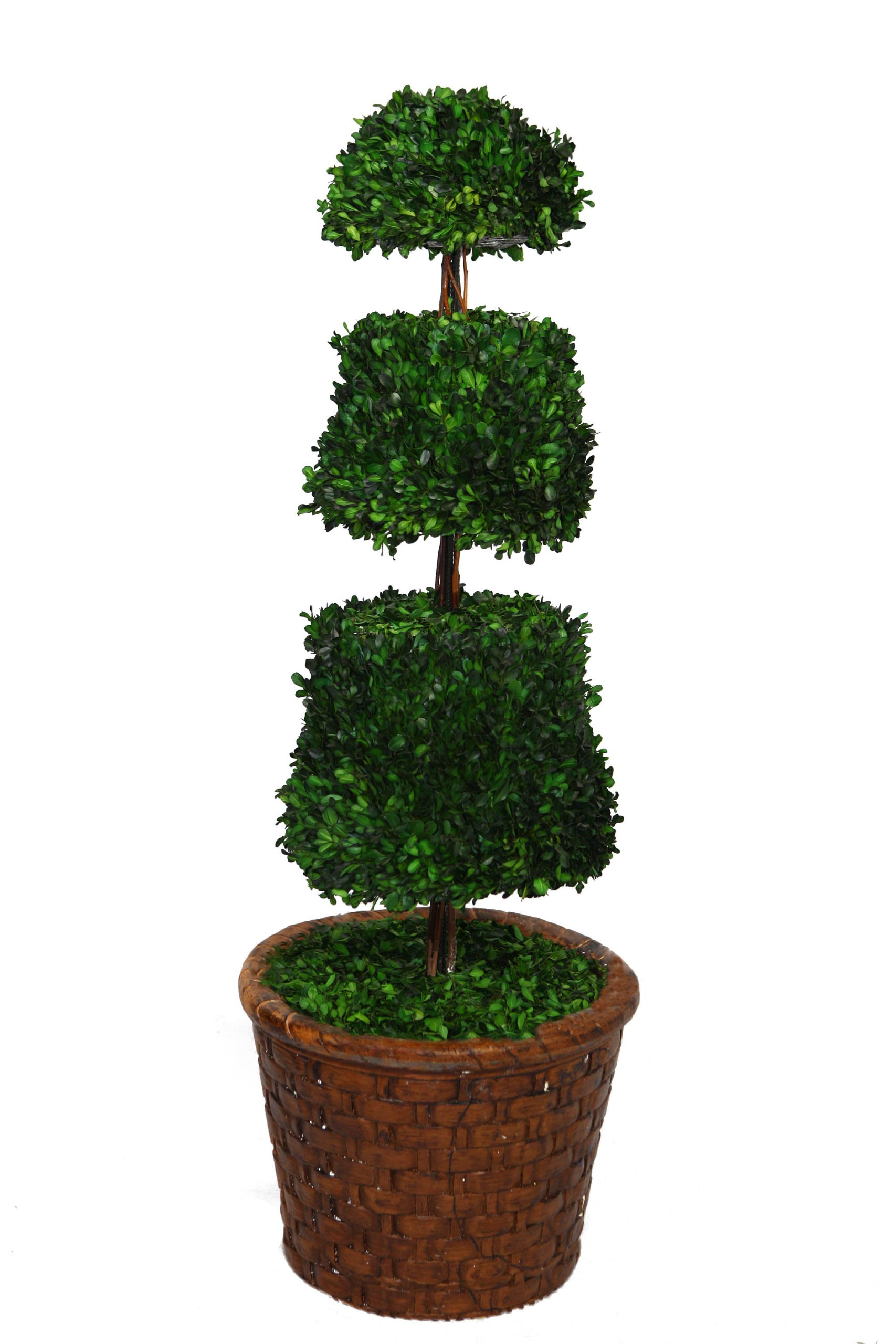 Laura Ashley 49 Inch Tall Preserved Natural Spiral Boxwood Cone Topiary in 17 Inch Fiberstone Planter
