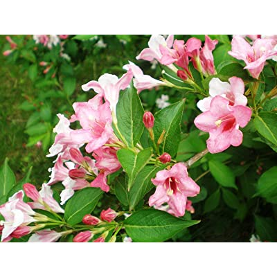 Weigela florida, Shrub Seeds (Fast, Showy, Hardy, Hummingbirds) (150) : Garden & Outdoor