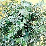 Eucalyptus gunnii P12 - 1 arbrisseau