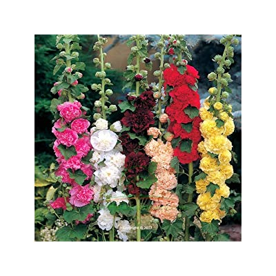 Bio Garden - 100pcs Rare Alcea rosea (Hollyhock) Chaters Double Mix Flower Seeds Easy to Grow, Exotic Flower Seeds Hardy Perennial Garden : Garden & Outdoor