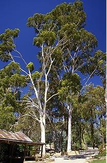 Mahagonibaum  Echter Mahagoni-Baum 10 Samen -liefert das wertvolle Handelsholz ...