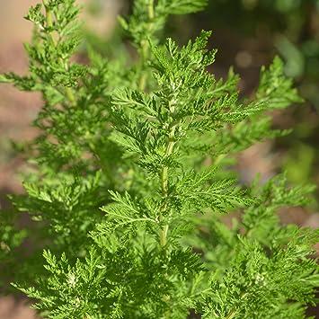 artemisia. 300 sweet annie seeds artemisia annua / sagewort wormwood