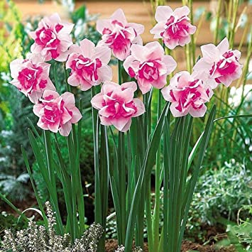 Amazon 5 Pink Daffodil Flower Bulbs Narcissus Spring Plant