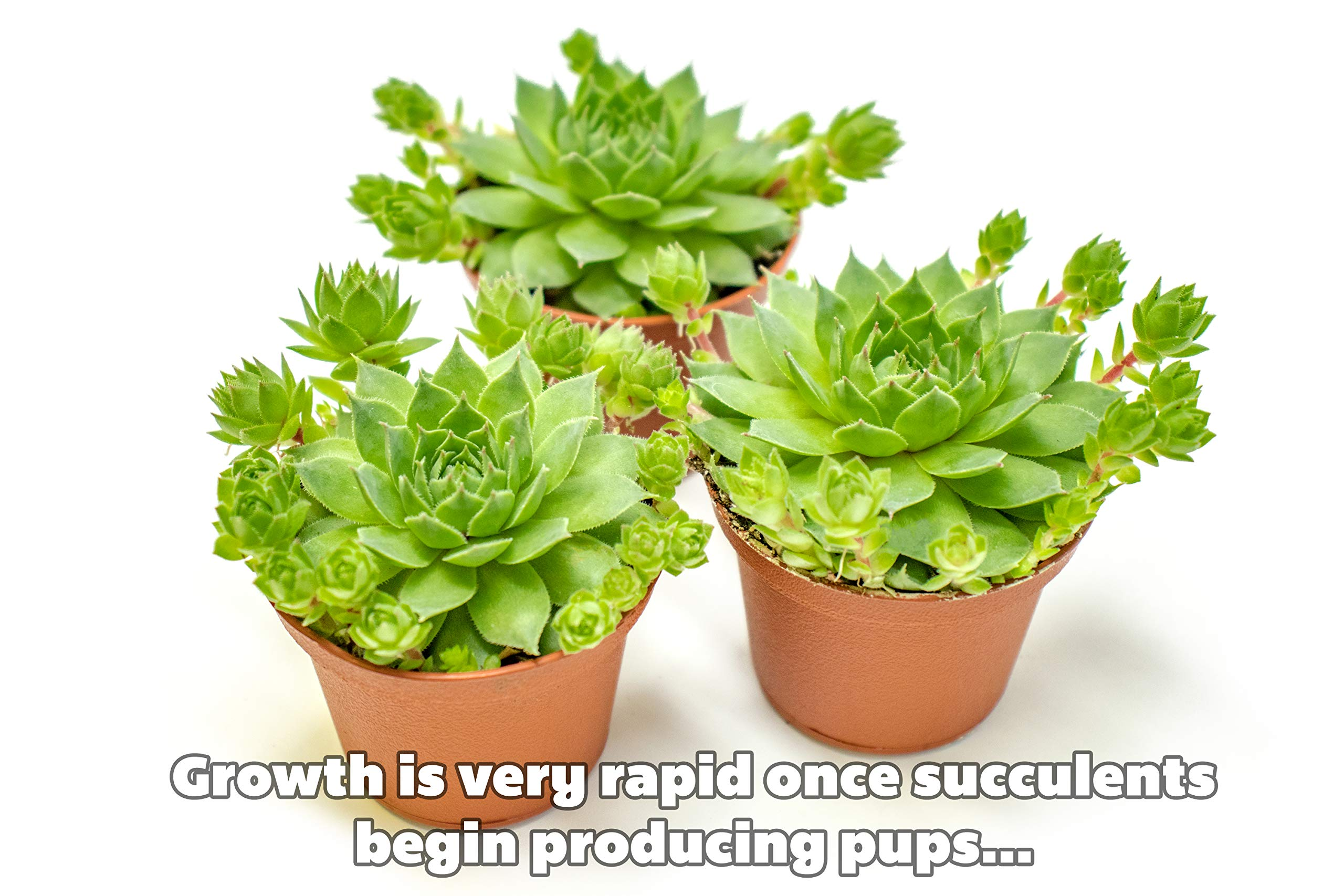 Fractal Succulents(5 Pack) Live Sempervivum Houseleek SucculentRooted in Pots | Flowering Plant Leaves /Geometric Rosettes by Plants for Pets by Plants for Pets (Image #5)