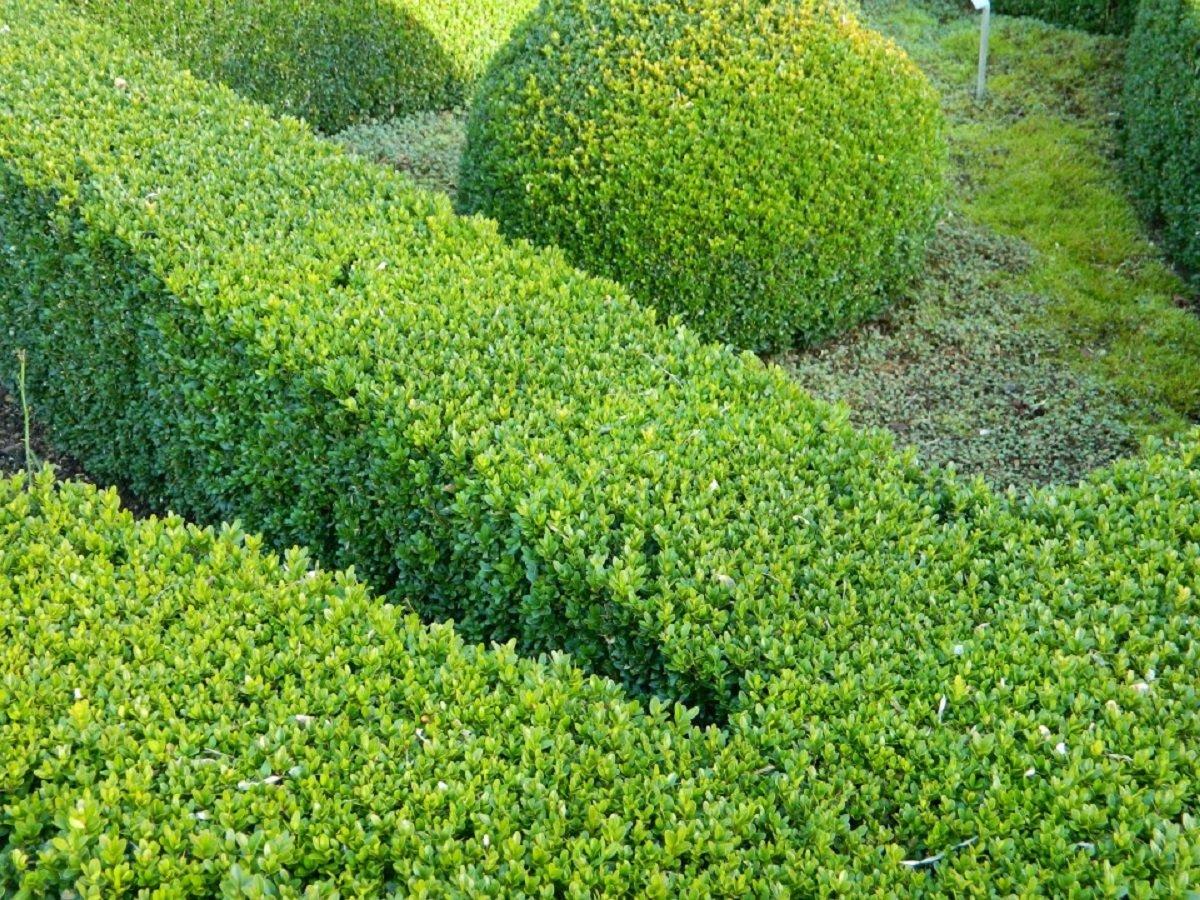 60 x Pflanzen Heckenpflanzen Buchsbaum Buxus sempervirens Gesamthöhe je 15-25 cm.