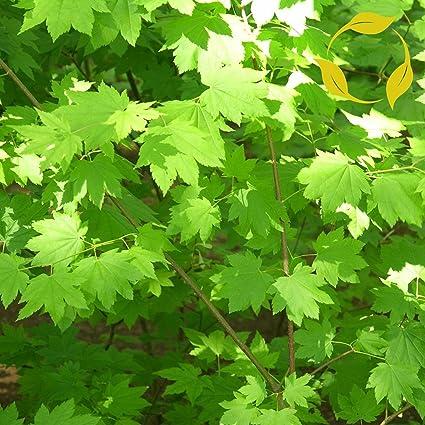 Amazoncom Oregon Vine Maple Acer Circinatum 10 Seeds Garden