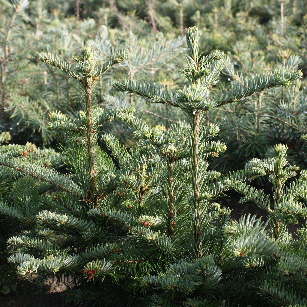 100 Stück Abies nobilis - (Nobilistanne)- Wurzelware- 10-15 cm- 3 jährig