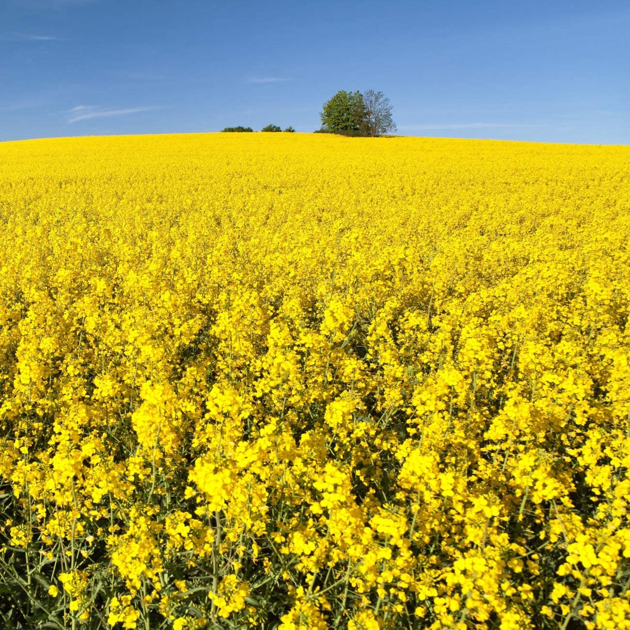 Outsidepride Forage Rape Seed for Food Plots & Cover Crops - 10 LB