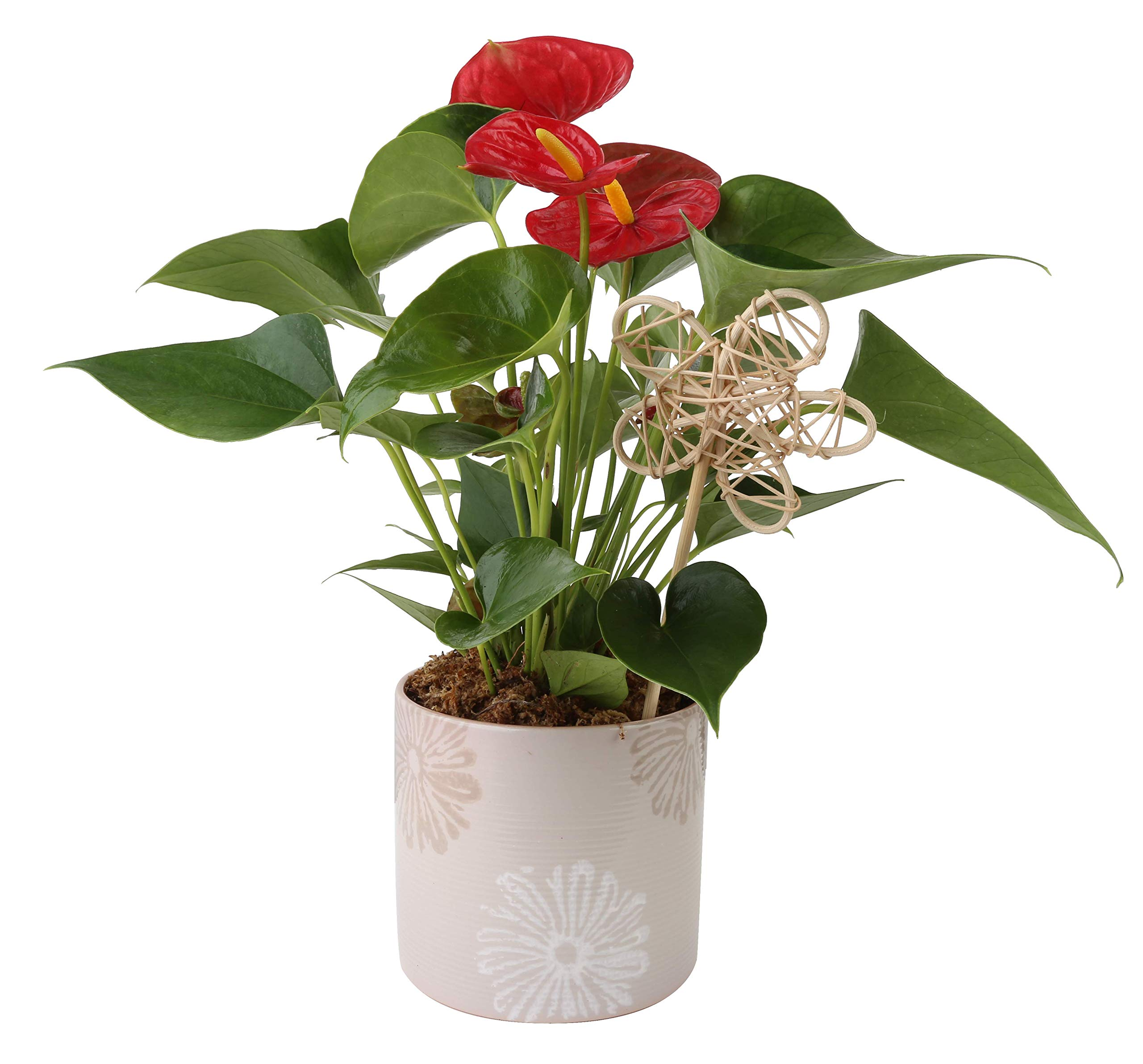 Costa Farms Live Anthurium Indoor Plant in Premium Ceramic, 12-Inches Tall, Great as Gift by Costa Farms