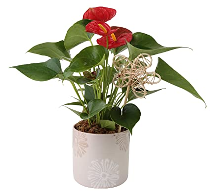 Costa Farms Live Anthurium Indoor Plant In Premium Ceramic 12 Inches Tall Great As Gift