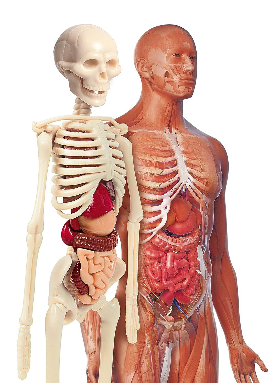 Niedlich Alle Organe Im Menschlichen Körper Fotos - Anatomie Von ...