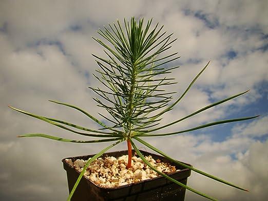 1 paraguas de pino mediterráneo para plantas de pino pino, semillas comestibles, 10-12cm: Amazon.es: Jardín