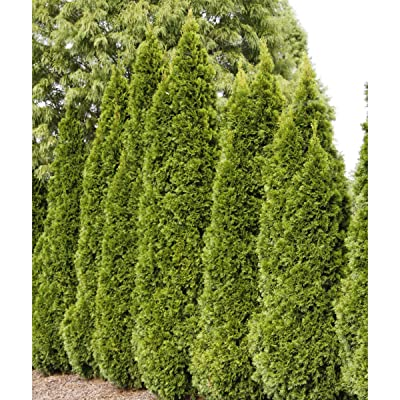 Emerald Green Arborvitae (Thuja) Starter Hedge Kit, Live Evergreen Bareroot Plants, 12 to 18 inches Tall (5-Pack) - Just $6.00 per Plant Delivered! : Garden & Outdoor