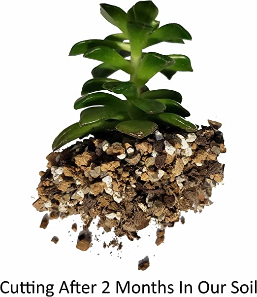 PREMIUM Succulent and Cacti Soil Mix Mineral Substrates for Healthy /& Compact Succulents and Cacti