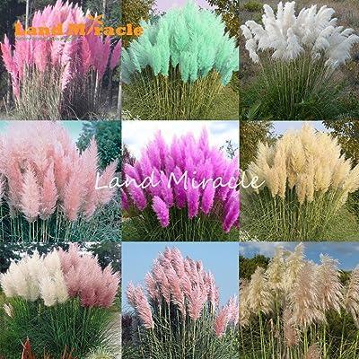 9 Colors 100 Mixed Seeds Pampas Grass Seeds Cortaderia selloana, Garden Flowers Bonsai Potted Plant Perennial Hardy Plant : Garden & Outdoor
