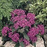 Pentas Lucky Star Lavender 25 Pelleted Seeds Pentas Seeds NEW FOR 2018