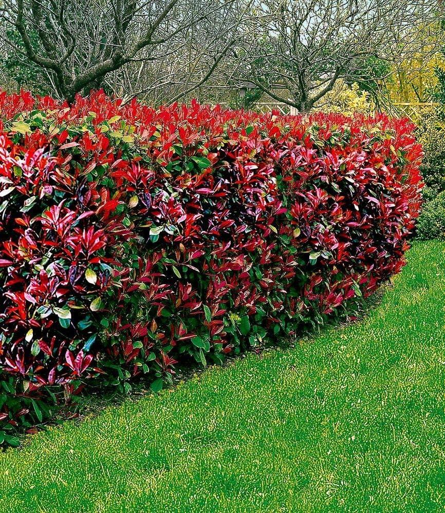 Photinia-Hecke Red Robin immergüne Hecke