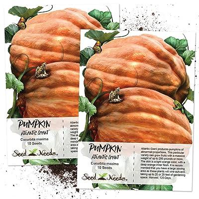 Seed Needs, Atlantic Giant Pumpkin (Cucurbita Maxima) Twin Pack 10 Seeds Each Non-GMO : Vegetable Plants : Garden & Outdoor