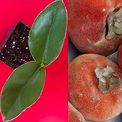 Velvet Apple Diospyros Discolor Blancoi Mabolo Fruit Seedling Tree Plant : Garden & Outdoor
