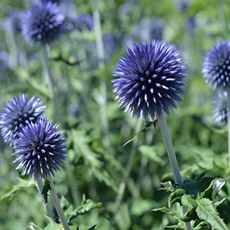 Amazon Com Outsidepride Globe Thistle Flower Seed 500 Seeds