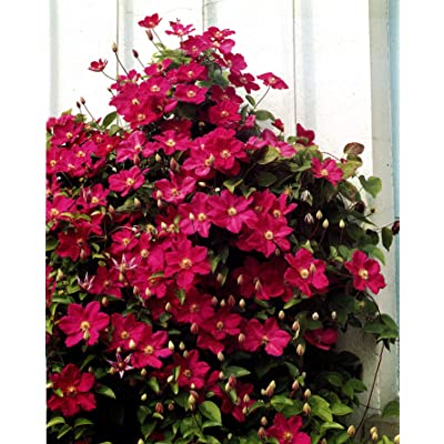 Red Cardinal Clematis Mix (3 Bare Root) Early, Large-flowered Vine, Now Shipping ! : Garden & Outdoor