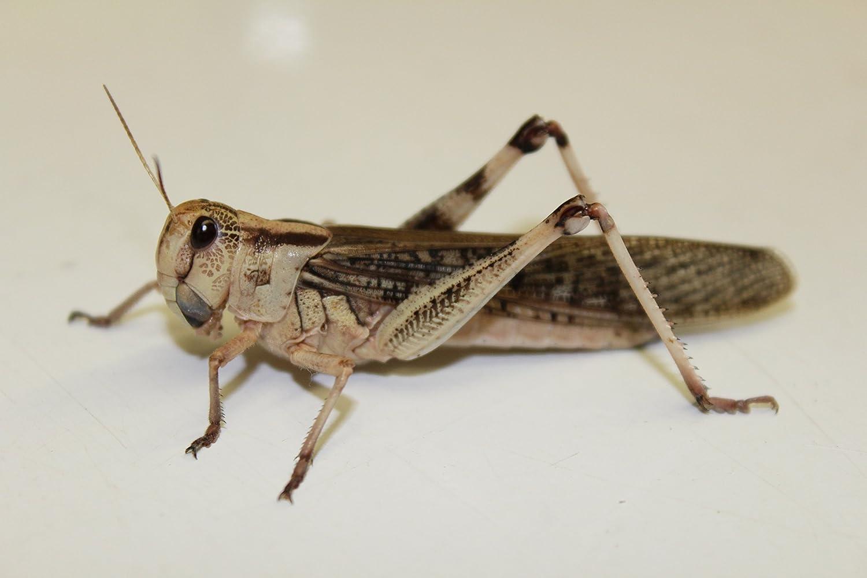 Heuschrecken Wanderheuschrecken adult groß 10 Stück Dose Futterinsekten Reptilienfutter Futtertiere Flos-Oase
