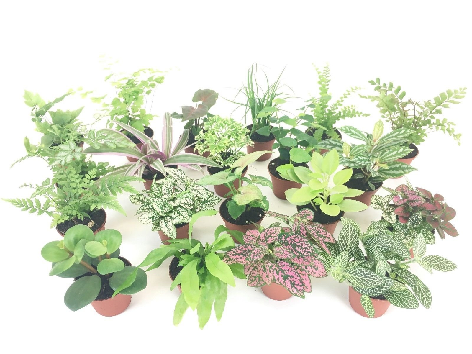 2'' Mini Fairy Garden & Terrarium Plants Assorted Varieties (Pack of 2 Plants) by Ma_Plant (Image #5)