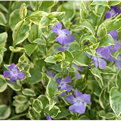 20 variegated leaf Vinca Variegata BIG leaf Periwinkle plants great groundcover : Garden & Outdoor