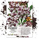 Seed Needs, Pink Common Milkweed (Asclepias syriaca) 100 Seeds