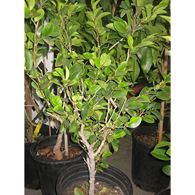 9EzTropical - Banana Shrub - Michelia figo- HOA Hàm Ti?u - 2 Feet Tall - Ship in 1 Gal Pot : Garden & Outdoor