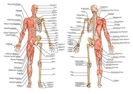 SonicPrint Human Body Skeleton Educational Poster. Many, Including ...
