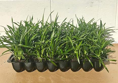 Amazoncom Super Blue Liriope Muscari 10 Live Plants Evergreen