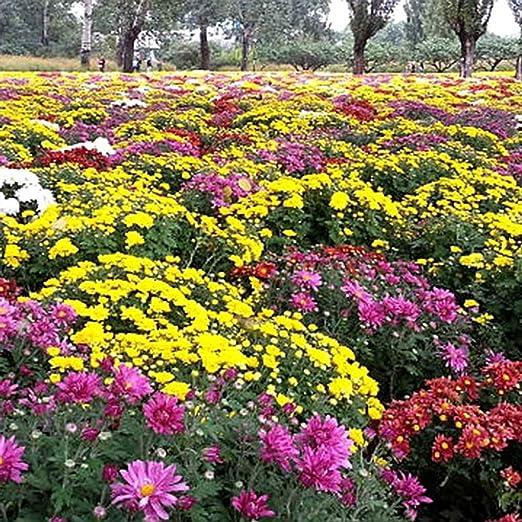 masterein 100pcs/bag ground-cover crisantemo Semillas Chrysanthemum morifolium jardín semillas de flores: Amazon.es: Hogar