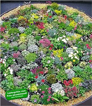 Ganz und zu Extrem BALDUR-GartenSteingarten-Stauden-Mix 10 Pflanzen winterhart @EF_74