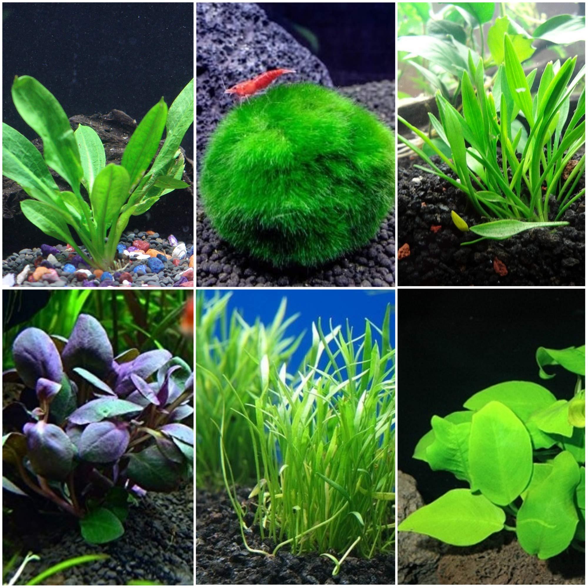 Nano Aquarium Plant Bundle for Small Aquariums - 1-5 Gallon Aquariums by AquaLeaf Aquatics