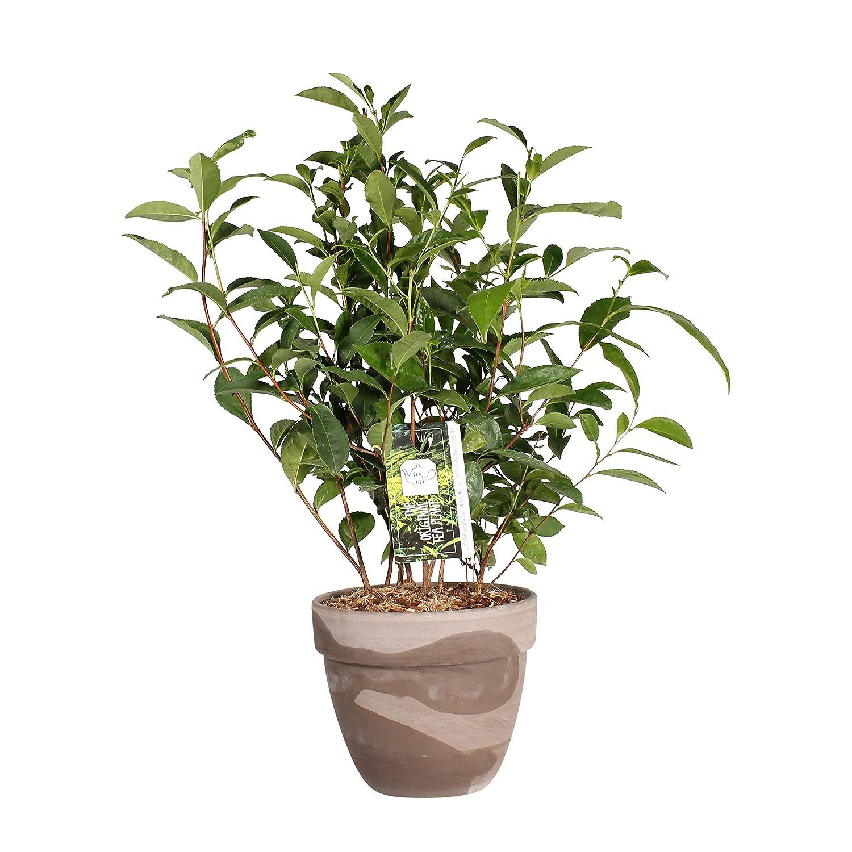 Hauteur: 50 cm Herbe de Botanicly Camellia Sinensis Th/éier