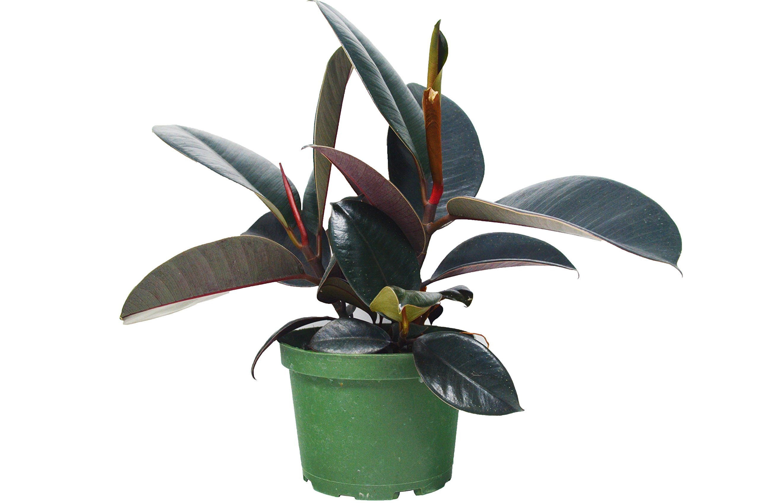 Ficus 'Burgundy' Rubber Plant - In 6'' Pot/12 - 18'' Tall/Live Plant/FREE Care Guide/House Plant/EASY CARE by House Plant Shop